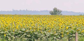 Trpinja-zemlja-suncokret poljoprivreda