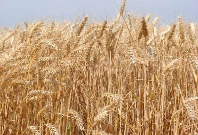pšenica žetva 2018 brestove međe