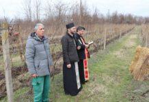 Sveti Trifun Sotin vinograd nikola bezbradica saša kuzmanović mladin spasojević