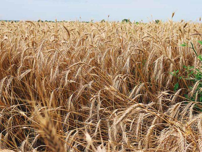 Žetva pšenica 2019 bobota negoslavci