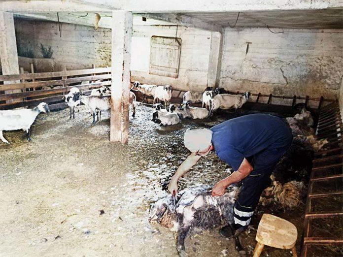 Ovce šišanje dalmacija