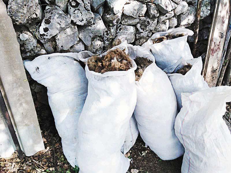 Ovce dalmatinska zagora šišanje