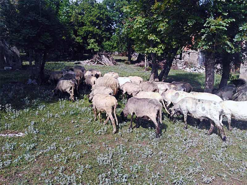 Ovce dalmatinska zagora