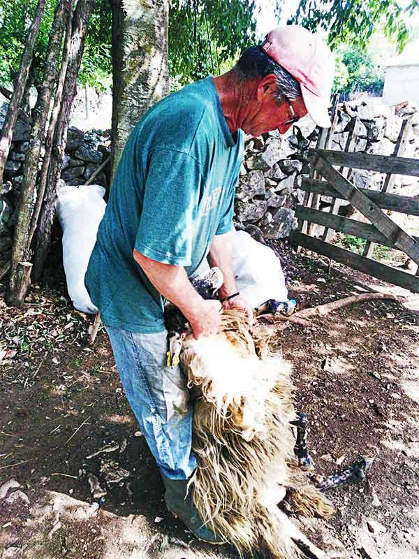 Ovce šišanje dalmatinska zagora