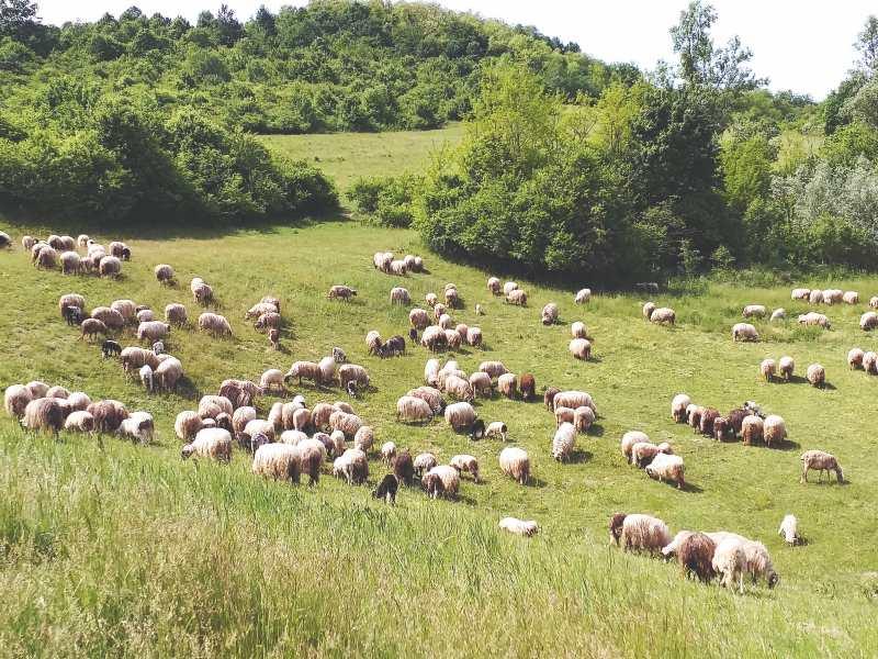 Gornje Kusonje ovce