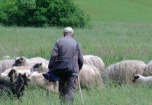 Gornje Kusonje ovce Krsto Vukman